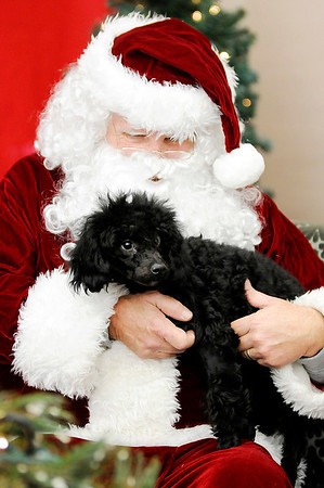 Don Knight    The Herald Bulletin<br /> Poodle Indi poses for a photo with Santa at Northgate True Value Hardware in Anderson on Saturday. A $10 donation for each pet photo benefited the Madison County Humane Society.
