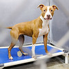 Don Knight | The Herald Bulletin<br /> Lamia, a Terrier and Pit Bull mix, looks out from her kennel at the Animal Protection League on Thursday.