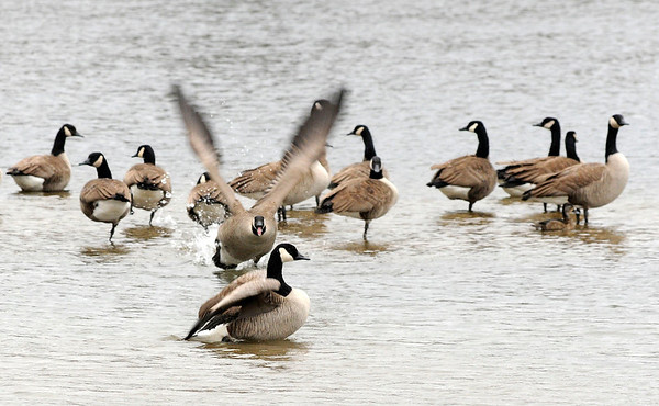 Don Knight   The Herald Bulletin<br /> A goose charges another while several Canada Geese gather on a shallow sand bar at Shadyside lake.