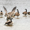 Don Knight | The Herald Bulletin<br /> A goose charges another while several Canada Geese gather on a shallow sand bar at Shadyside lake.