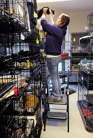 Don Knight   The Herald Bulletin<br /> Animal Protection League vet tech Ashley McGurn uses a step ladder to get to a new arrival at the Animal Protection League on Thursday. The cat room is stacked floor to ceiling with kennels.