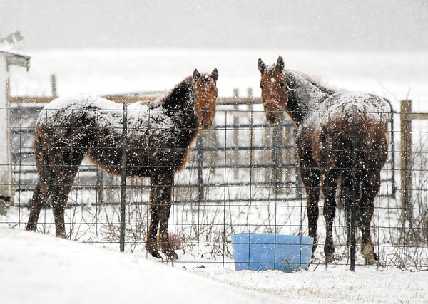 The snow busts moving through the area Thursday morning don't seem to mind these horses as they continued to graze while being covered with the white stuff  along CR 200W near Florida Station.