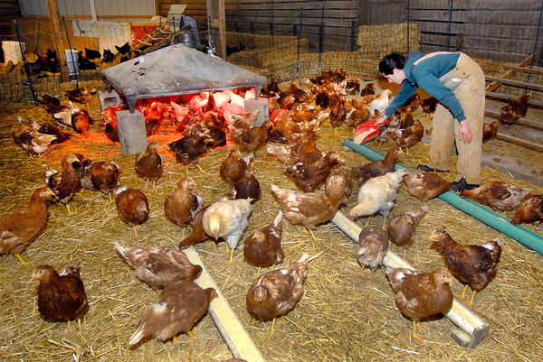 THB photo/John P. Cleary<br /> Sara O'Donnell puts out more feed for the more then 200 chickens her family is raising in two large pens in a barn during this extreme winter weather.
