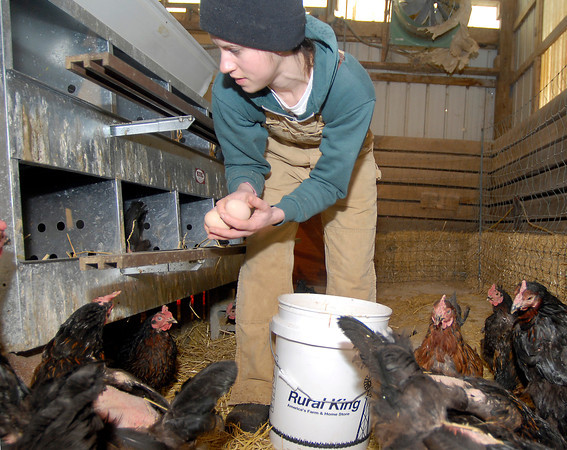 THB photo/John P. Cleary<br /> Sara O'Donnell, of Pinehurst Farm, collects fresh eggs and checks on the more then 200 chickens four times a day that they have in a barn due to the extreme winter weather.  They have to check more frequently to prevent the fresh eggs from freezing.
