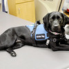 Don Knight / The Herald Bulletin<br /> Denny, 28 month old a Lab-Golden mix, works as a service dog at St. Vincent Anderson Regional Hospital.