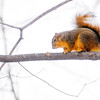 Don Knight / The Herald Bulletin<br /> A squirrel sits on a branch in Mounds State Park on Friday. Events scheduled for the park this weekend include Hoosier Quest Pin Program and Pioneer Puzzles on Saturday and Cocoa and a Movie on Sunday.