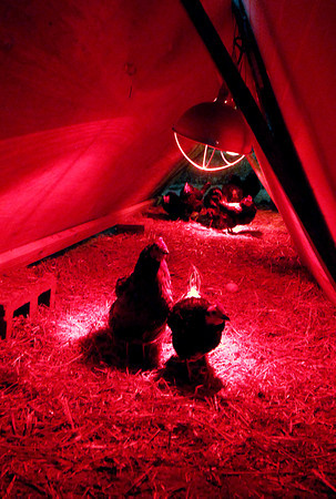 THB photo/John P. Cleary<br /> Pinehurst Farm has more then 200 chickens they are raising in two large pens in a barn during this extreme winter weather. Each pen has a warming hut with heat lamps in them the birds can use as needed.