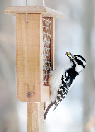 Don Knight / The Herald Bulletin<br /> A bird visits a feeder at the Visitor Center at Mounds State Park on Wednesday. You can view several bird feeders from the comfort of the Visitors Center daily from 9 a.m. to 4 p.m.