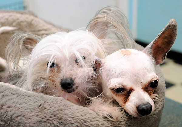 Don Knight | The Herald Bulletin From left, Pixie and Peter Pan curl up in a dog bed at Dogz In Sudz in Pendleton. Sheila Curtiss, owner of Dogz In Sudz, was voted as the best pet groomer by readers of The Herald Bulletin.