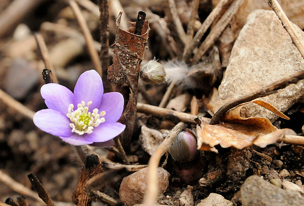 Don Knight | The Herald Bulletin<br /> It's February but it has felt like Spring this week and this small wildflower blooming along a trail at Mounds State Park is making it look like Spring. But the forecast is calling for a cold dose of reality this weekend.