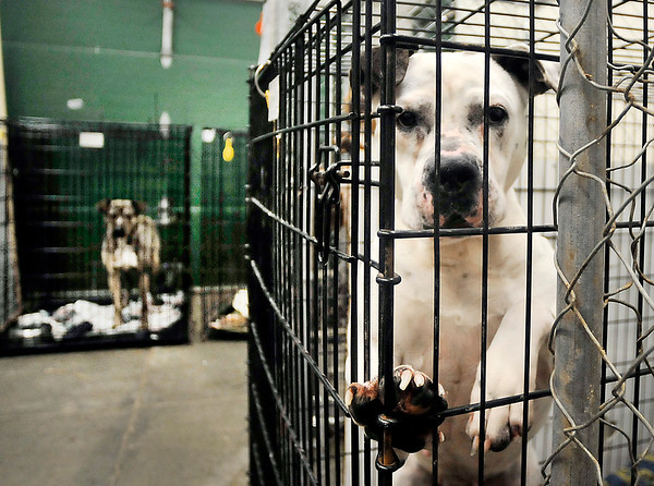 John P. Cleary | The Herald Bulletin<br /> The Animal Protection League is pushing for the Anderson city council to place tighter restrictions to the animal control ordinance to help prevent abuse of animals by pet owners.
