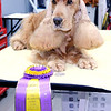 Don Knight | The Herald Bulletin<br /> English cocker spaniel Gordon beat out 17 other competitors last week to win Best of Breed at the prestigious Westminster Kennel Club Dog Show in New York City.