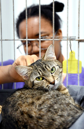 John P. Cleary   The Herald Bulletin<br /> One-year-old JoJo looks content as volunteer Lauren Pitts pets her during the <br /> Animal Protection League's Meow-A-Thon.
