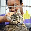 John P. Cleary | The Herald Bulletin<br /> One-year-old JoJo looks content as volunteer Lauren Pitts pets her during the <br /> Animal Protection League's Meow-A-Thon.