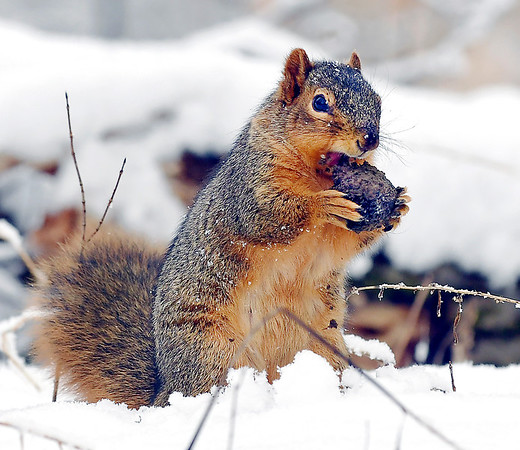 After foraging the forest floor of Mounds State Part through the snow and underbrush, this squirrel stopped to reap the reward of his search.