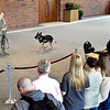 U.S. Army Specialist Amy Maulo and her K-9 partner, Sgt. Batman, Fort Lee, Virginia, give a presentation on military working dogs to Anderson University's Criminal Justice students Wednesday at Reardon Auditorium. Here Maulo demonstrates the use of verbal commands to control the dog in the field.