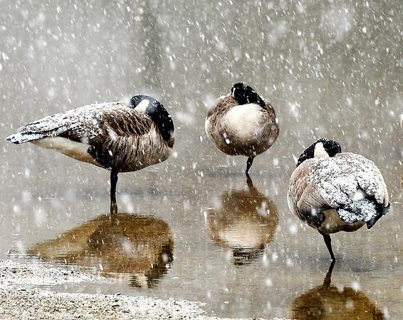 Maybe one way to weather the storm is like these Canada geese, tuck your head and a leg in and let your back take the brunt of the snow as it falls over Shadyside Lake late Wednesday. The forecast called for several inches of snow to fall over the area overnight.