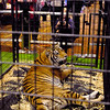 People look at, and take photographs of, this large tiger that greeted them at the entrance to the Casino during Hoosier Park's Las Vegas LIVE The Big Show New Year's Eve party.<br /> <br /> <br /> <br /> <br /> <br /> New Year's eve party at Hoosier Park Racing & Casino.