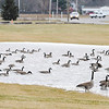 A gaggle of geese congregate in standing water along Columbus Avenue on Wednesday. Soggy January weather has left the ground saturated.
