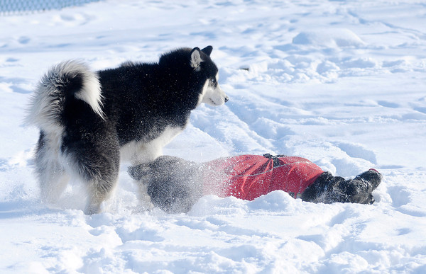 Don Knight / The Herald Bulletin<br /> Siberian Husky Bandit and Labrador Retriever Fiona play in the snow at Anderson's dog park on Friday.