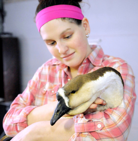 Don Knight / The Herald Bulletin<br /> Logan Miller, 14, rescued an African Goose from the extreme cold and is nursing it back to health.