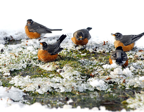 THB photo/John P. Cleary<br /> With temperatures hovering around 0 these robins found an area of warmth that has melted the snow and left some fresh, unfrozen water to drink along Alexandria Pike Monday.