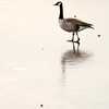 Don Knight | The Herald Bulletin<br /> A goose walks on ice at Shadyside on Friday. Rain and warmer temperatures Saturday brought on a  temporary thaw but the forecast for the week ahead is calling for frigid temperatures.