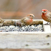 Don Knight | The Herald Bulletin<br /> Birds visit one of the feeders at the Mounds State Park Nature Center on Wednesday. You can observe several feeders from the comfort of the wildlife viewing room inside the Nature Center open from 9 a.m. to 4 p.m. daily.