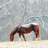 John P. Cleary    The Herald Bulletin<br /> The light snow doesn't bother this horse as he grazes this field along County Road 300 East near Mounds State Park Thursday morning as the light dusting falls over him.