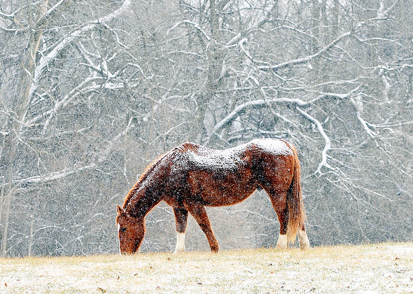 John P. Cleary |  The Herald Bulletin<br /> The light snow doesn't bother this horse as he grazes this field along County Road 300 East near Mounds State Park Thursday morning as the light dusting falls over him.