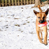 Don Knight |  The Herald Bulletin<br /> Two-year-old shepherd mix Bacon plays fetch with a squeaky toy during APL's Super Saturday Open House.