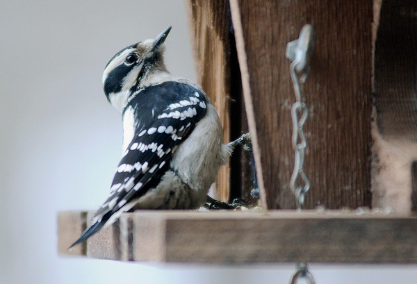 Don Knight |  The Herald Bulletin<br /> A downy woodpecker visits one of the feeders at the Mounds Park Nature Center on Tuesday. On cold winter days you can sit in comfort in the Nature Center's wildlife viewing room and observe the feeders.