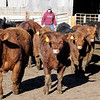 Don Knight | The Herald Bulletin<br /> Brian Shuter checks on his herd at Shuter Sunset Farms near Frankton. Use of antibiotics is down in the cattle industry in response to concerns about bacteria building up a resistance.
