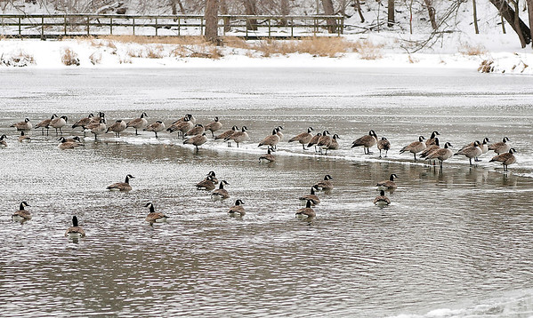 John P. Cleary   The Herald Bulletin<br /> As temperatures rise, some of these Canada geese prefer the ice to be on instead of being in the waters of Killbuck Creek in the Killbuck Wetlands.<br /> Above normal temperatures are in store along with rain before another cold snap moves in by the weekend.