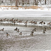 John P. Cleary | The Herald Bulletin<br /> As temperatures rise, some of these Canada geese prefer the ice to be on instead of being in the waters of Killbuck Creek in the Killbuck Wetlands.<br /> Above normal temperatures are in store along with rain before another cold snap moves in by the weekend.