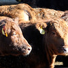 Don Knight | The Herald Bulletin<br /> A recent study has shown antibiotic use in animals declined by 33 percent between 2016 and 2017. Limiting the use of antibiotics protects their effectiveness.