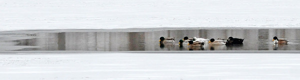Don Knight | The Herald Bulletin<br /> Ducks gather in an area of open water at Shadyside on Tuesday.