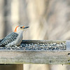 Don Knight | The Herald Bulletin<br /> A red-bellied woodpecker visits the feeders at Mounds State Park on Friday. <br /> <br /> If the frigid temperatures forecast for this week bring on a case of cabin fever consider some time in the wildlife viewing room in the Nature Center at Mounds State Park. The room is surrounded by large windows offering a view of several feeders that attract squirrels, several species of birds and even the occasional deer. Speakers piping in the sounds from outdoors create a place for quite contemplation and observation of nature while avoiding the sting of winter's chill. You can check the park's Facebook page for hours and notices about closure due to inclement weather.