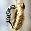 Don Knight | The Herald Bulletin<br /> A downy woodpecker feeds on a suet cake at Mounds State Park on Friday. <br /> <br /> If the frigid temperatures forecast for this week bring on a case of cabin fever consider some time in the wildlife viewing room in the Nature Center at Mounds State Park. The room is surrounded by large windows offering a view of several feeders that attract squirrels, several species of birds and even the occasional deer. Speakers piping in the sounds from outdoors create a place for quite contemplation and observation of nature while avoiding the sting of winter's chill. You can check the park's Facebook page for hours and notices about closure due to inclement weather.