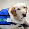 John P. Cleary | The Herald Bulletin<br /> Rainier is Community Hospital's new therapy dog.