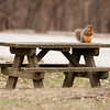 Table for one<br /> A fox squirrel sits on a picnic table at Mounds State Park on Friday.