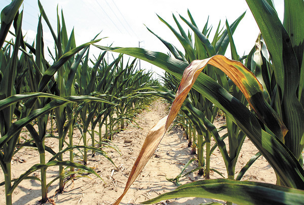 Dry crops due to drought.