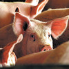 THB Photo/John P. Cleary    6/21/06    NEWS<br /> Rick Jarrett and his hog farm at 1500N & 700W.<br /> GOES WITH STORY BY JUSTIN