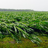 Crop damage along CR 100S near Lapel from a severe thunderstorm.