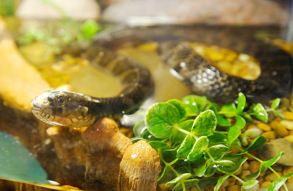 """A Northern Water Snake pears out of its enclosure at the Mounds State Park Nature Center on Wednesday. Kids will get to take part in the feeding of herptiles at the Nature Center during the """"Critter Feeding Frenzy"""" on Sunday July 28th at 10 a.m."""