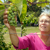 John P. Cleary | The Herald Bulletin<br /> Cathy Hensley, of Madison County Winery, checks the grapes in their orchard outside their new building at 10942 South 400 East, Markleville.