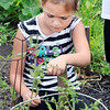 John P. Cleary | The Herald Bulletin<br /> Temple O'Brien, 6, checks how the tomato plants are coming along in the Park Place Community Center's community garden.