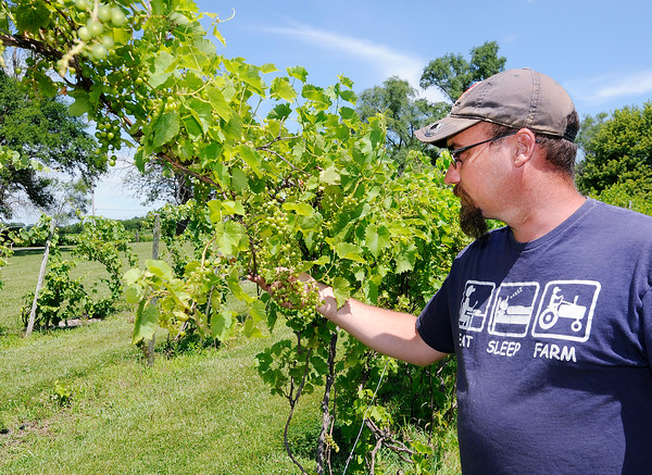 Don Knight   The Herald Bulletin<br /> Eric Hensley looks at some Seyval grapes at the family owned Madison County Winery on Thursday. A change in law will allow Indiana farm wineries to refill growlers.