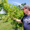 Don Knight | The Herald Bulletin<br /> Eric Hensley looks at some Seyval grapes at the family owned Madison County Winery on Thursday. A change in law will allow Indiana farm wineries to refill growlers.