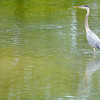 Don Knight | The Herald Bulletin<br /> A blue heron stalks the shallows at Shadyside Lake on Friday. Scattered thunderstorms are in the forecast for today according to the National Weather Service.